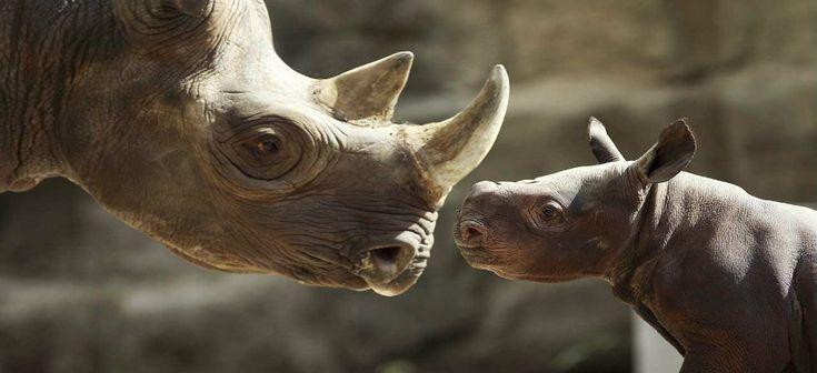 The rhino : A countdown to extinction