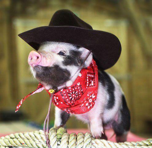 Piggy! Yee-ha!