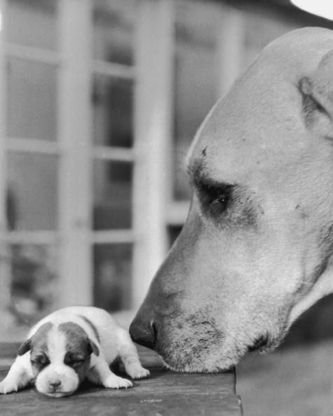 A larger dog sniffing a tiny Jack Russell terrier, 18th January 1970. (Photo by Express Newspapers/Hulton Archive/Getty Images)