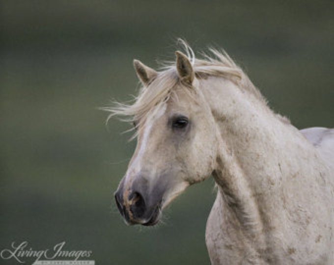 Cloud Runs in the Early Morning - Fine Art Wild Horse Photograph - Wild Horse - Cloud - Pryor Mountains
