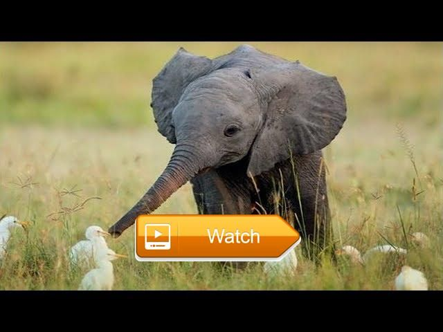 Funny Baby Elephants Videos Compilation So CUTE  Funny And Cute Baby Elephants Videos Compilation So CUTE Original  on Pet Lovers