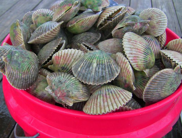Get the story on where and how to scallop in Florida