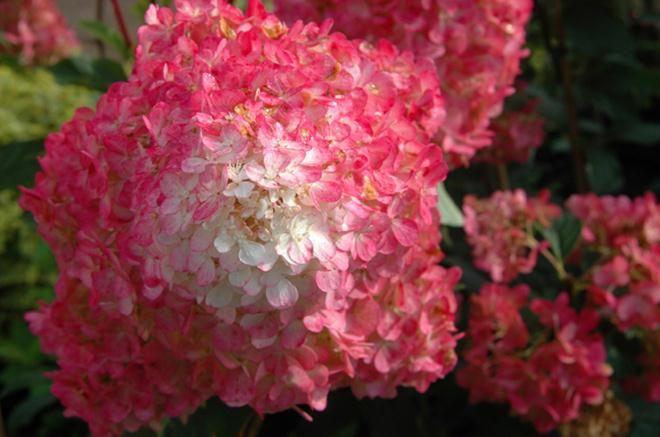 Fraise et Vanille Pee Gee Hydrangea | BOTANIX