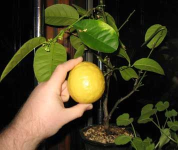 How To Grow a Lemon Tree From Seed - Plant Care Today