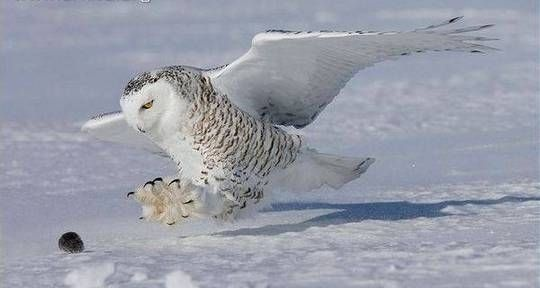 World Largest Owl Species | Scienceray | Birds | Pinterest ...