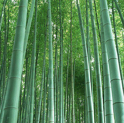 RIESENBAMBUS Samen - 60 () Stück - Moso Bambus - Winterhart wächst 8 bis 10 Meter in Rekordgeschwindigkeit - gut als Sichtschutz oder Windschutz im Garten geeignet