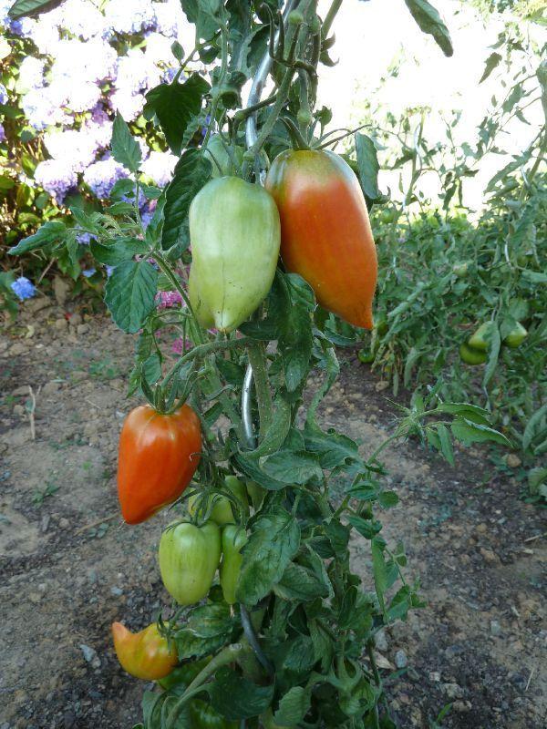 les 72 meilleures images propos de jardin potager tomates poivrons aubergines sur. Black Bedroom Furniture Sets. Home Design Ideas