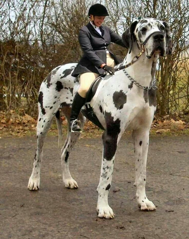 Giant Dog! oh myyy!!! i am jealous! i always wanted to have a HUGE dog! it looks like a horse!! oh! *cries*