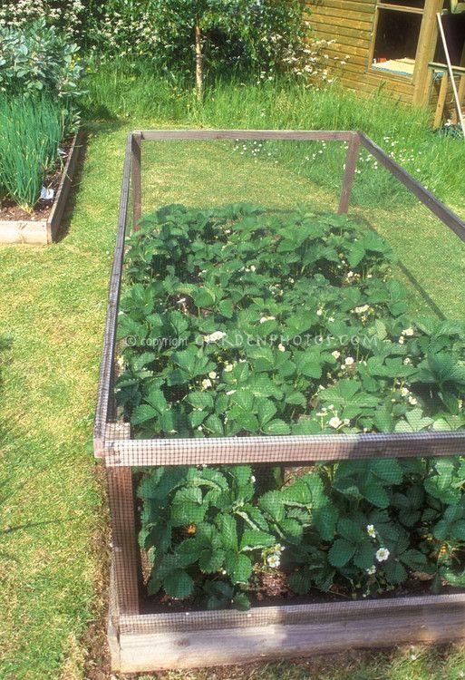 Jardin de fraises : Le fin grillage est une bonne idée c/limaces & autres indésirables strawberry garden