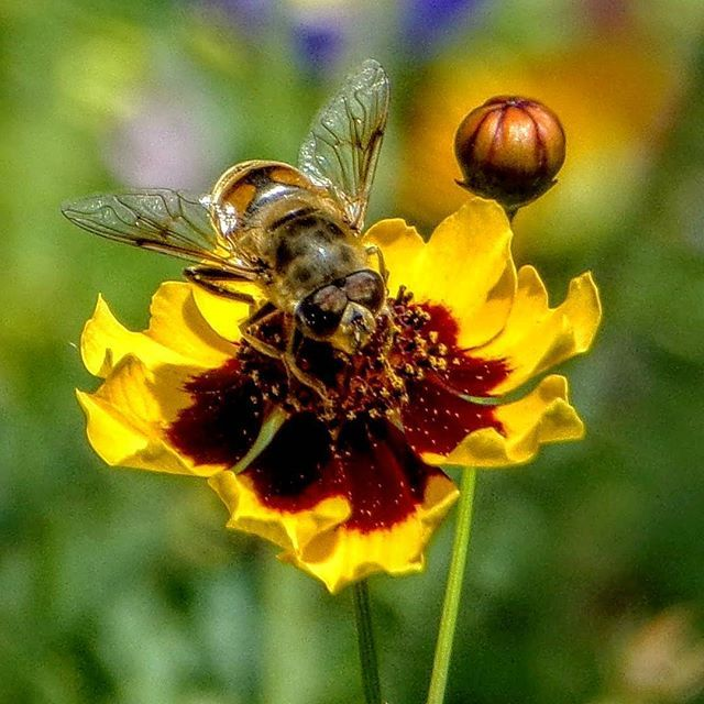 Working ceaselessly Pausenlos arbeiten Trabajar sin descanso #bee #polen #nectar #flowers#lakeconstance #Germany #abejas #néctar #flores #lagodeconstanza #Alemania #Biene #nektar #blumen #Bodensee #Deutschland #Allensbach #kodak_photo #kodakpixpro #az362