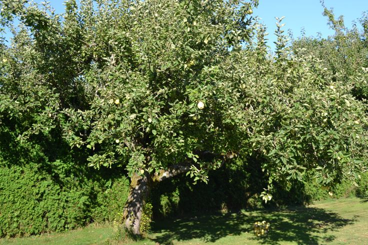 1900 Transparent apple tree with apples