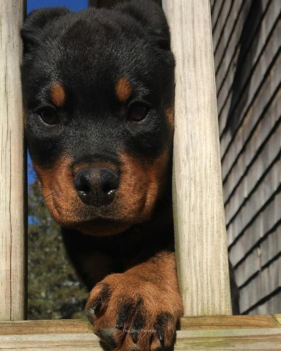 The Traits I Admire About The Calm Rottweiler Rottweilerfamily