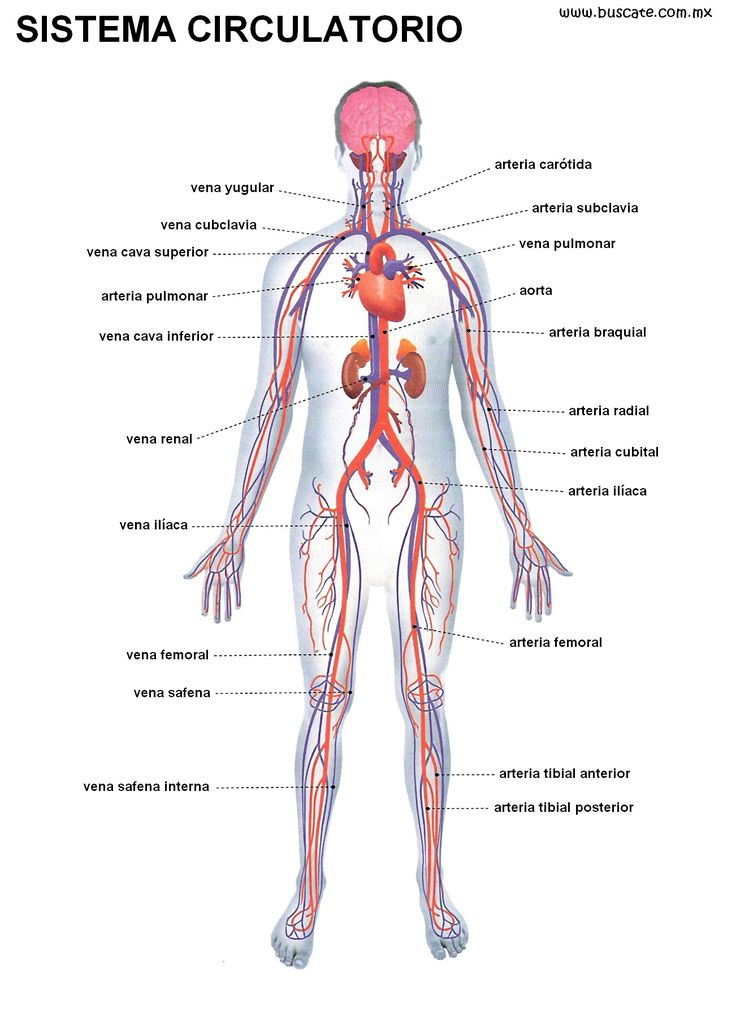 Ms de 25 ideas increbles sobre Sistema circulatorio en Pinterest