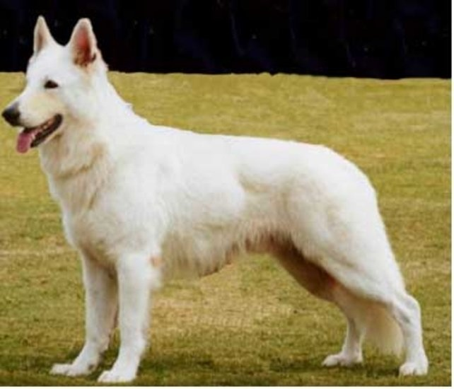 Perfection white german shepherd dog