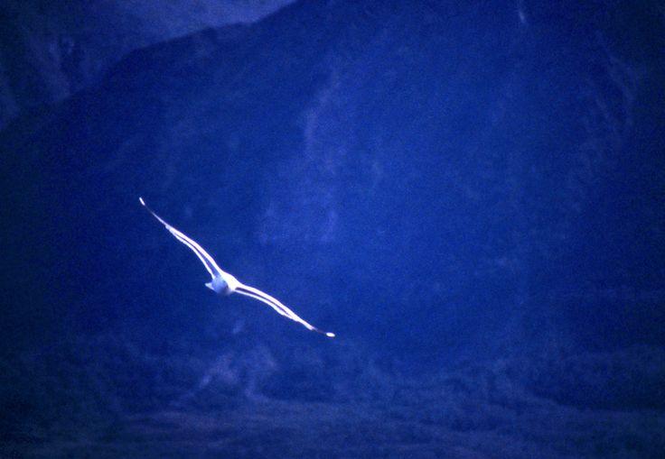 Seagull - Lofoten Islands, Norway - August 1989 | Norway | FotoDiSpalle