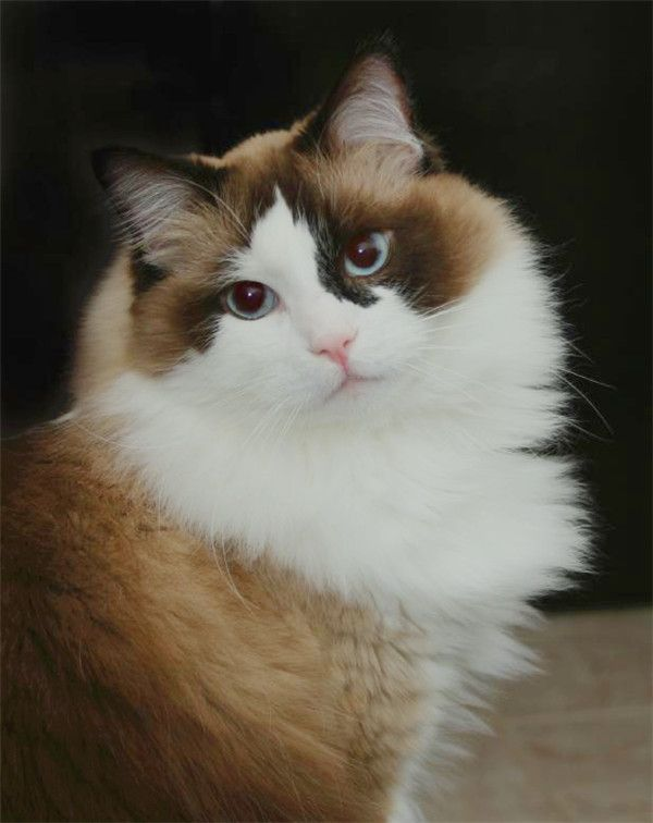 25 Viral Ragdoll Cat Photos That You Will Love Cat Breeds Cats