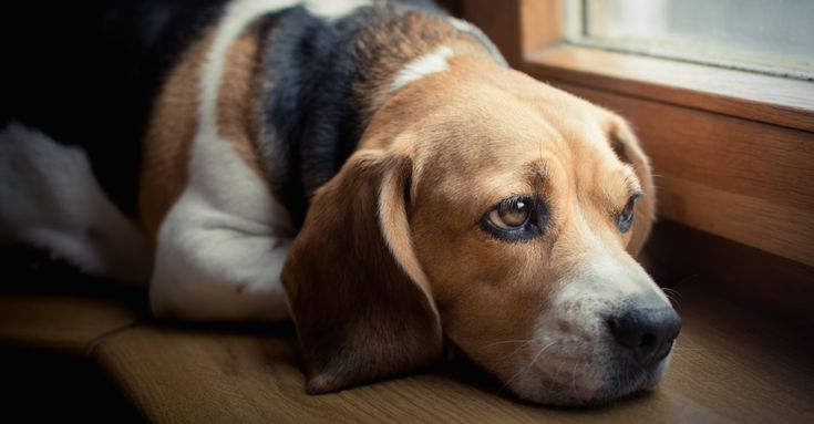 The thought of our dogs silently suffering from a easily preventable illness is absolutely heartbreaking. Yet studies show that as many as 85% of dogs over the age of 3 years old are suffering from a disease that is notonly …