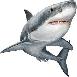 shark graphics free - Google Search