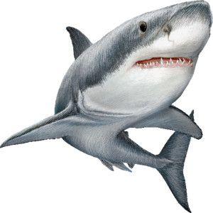 shark graphics free - Google Search