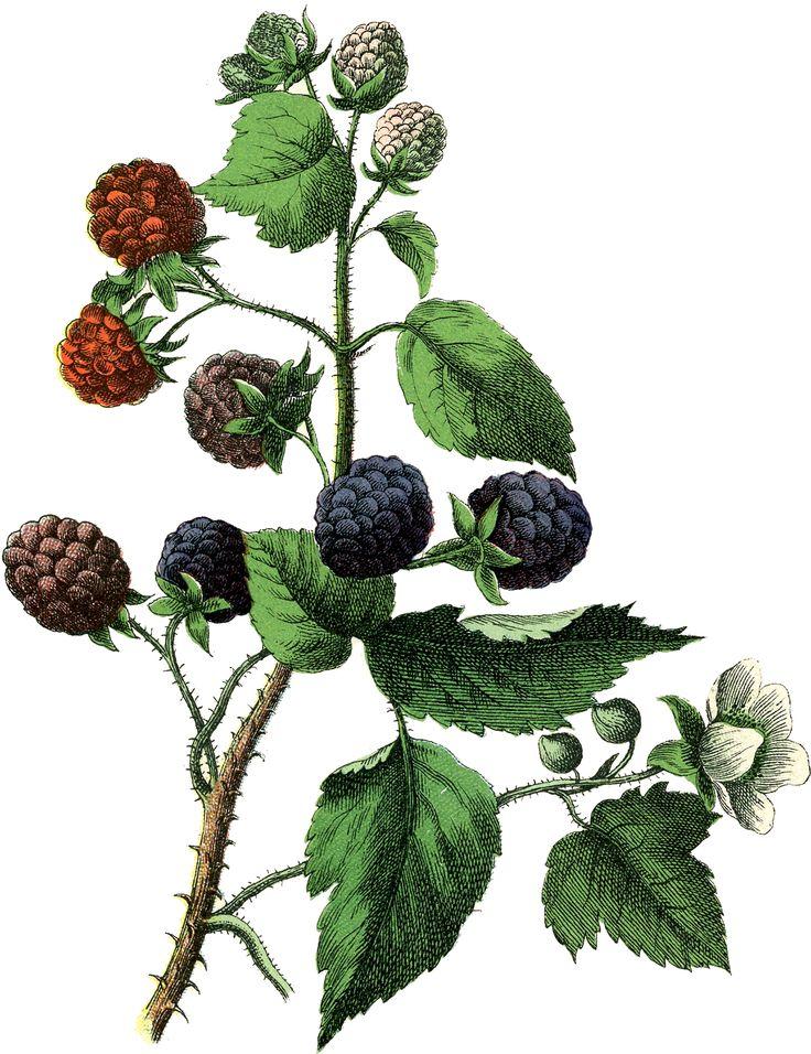 Vintage Botanical Blackberries Image! - The Graphics Fairy