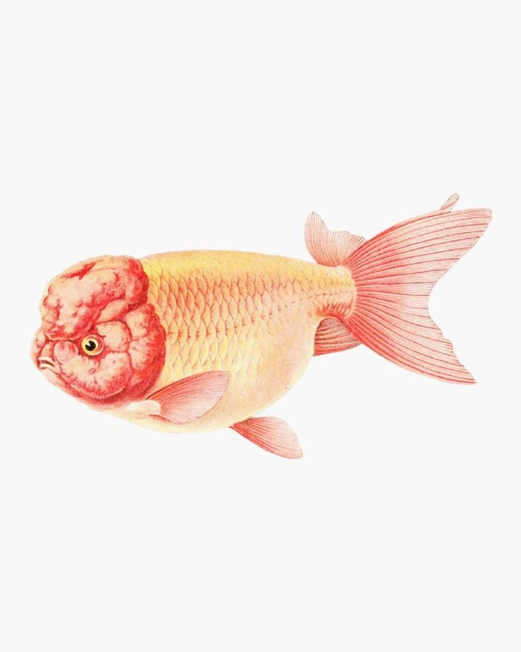 Pin By Antique Stock Download Png J On Freebies Fish Clipart Goldfish Create Wedding Invitations