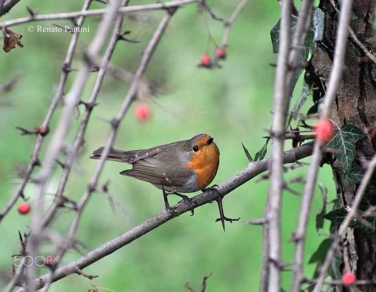 European Robin... - Erithacus rubecula; Pettirosso. Taken in Sirmione. (Lombardia, Italia) (December 2016)