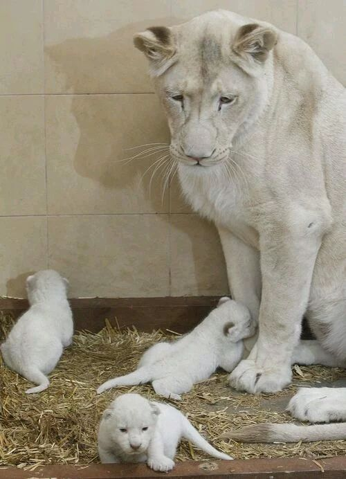 Mother watching her cubs