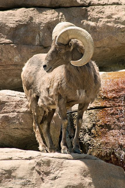 Big Horn Sheep (Ram) Strikes a Pose at the Denver Zoo by D200-PAUL -- On Holiday, No Internet, via Flickr