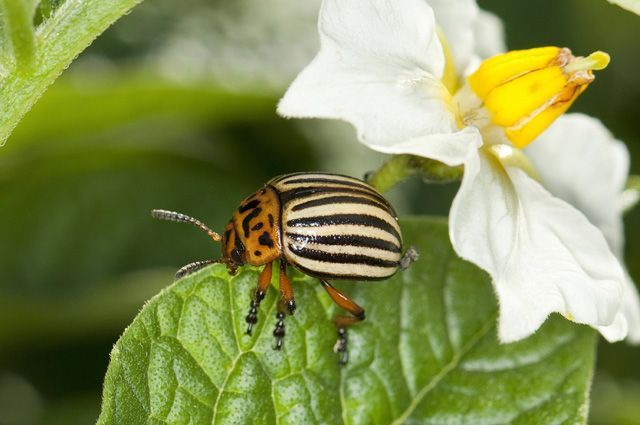 Борьба с вредителями: 4 действенных метода от колорадского жука