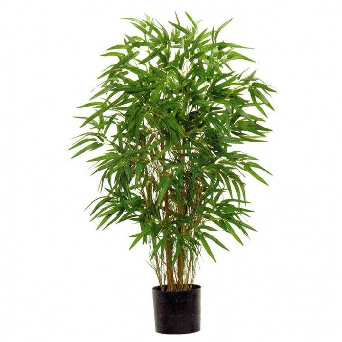 Bamboo House Plant ~ Ideas about bamboo house plant on pinterest