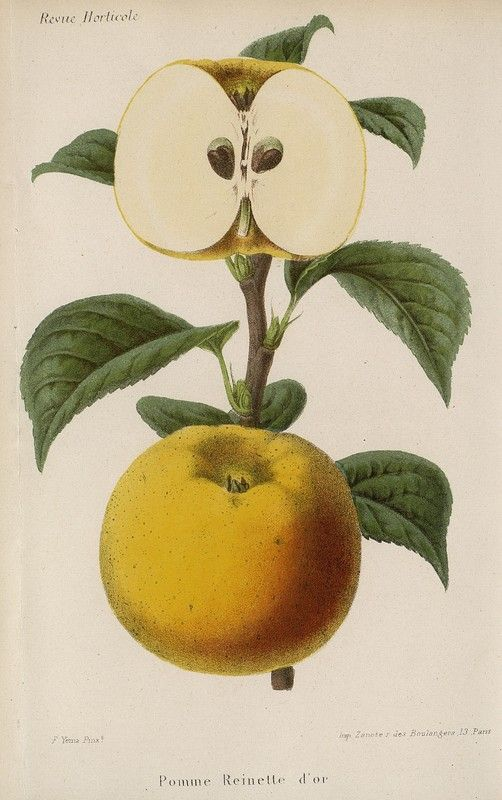 SNHF | Pomme Reinette d'or