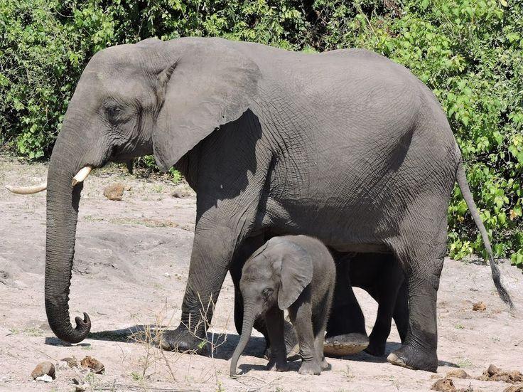 Elephants in the Chobe National Park, Botswana