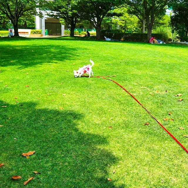 「かめの」の旅路 「かめの」の匂い 「かめの」の跡を追って  #かめこの庭 #🐶 #🍓#イチゴ  #苺 #Chihuahua #チワワ #ロングコートチワワ #わんこ #WAN #犬 #愛犬 #Dog #癒し #キュート #ラブリー #散歩 #犬服 #かめの #しらす #天使のASTIべべ子 #はかせ #ピンク #pink #ロングリード