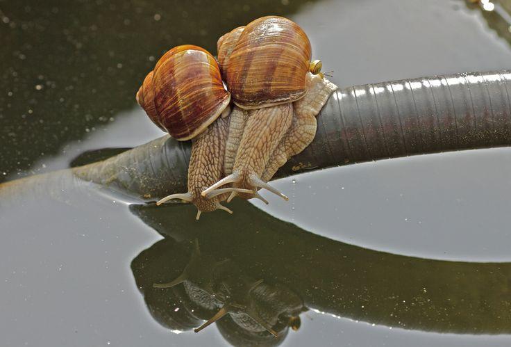 Snail Couple  -  Schneckenpaar