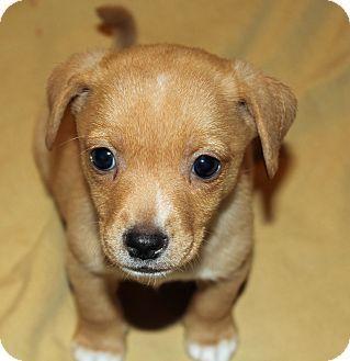 Dachshund mix, Puppy for adoption and Adoption on Pinterest