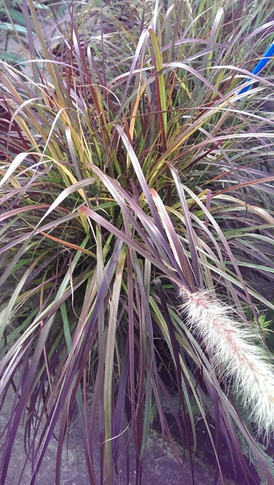 Pennisetum setaceum plant - How to grow Pennisetum setaceum plant, growing beautiful Pennisetum setaceum leaves in your garden http://www.growplants.org/growing/pennisetum-setaceum