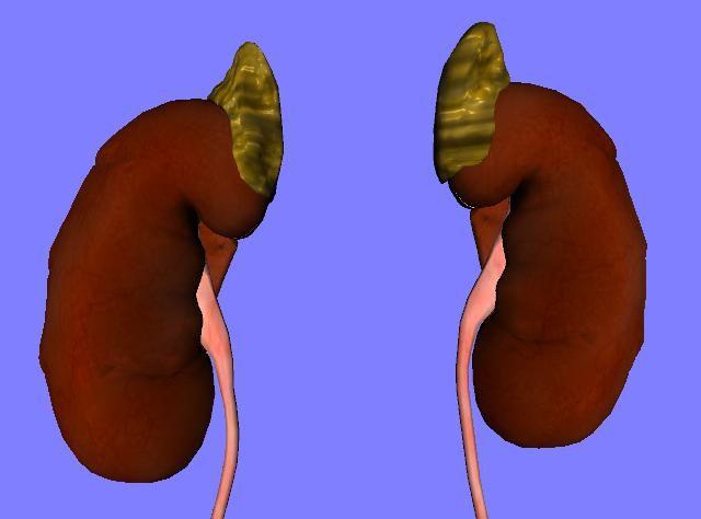 Glándula adrenal es una pequeña glándula endocrina triangular situada en los tejidos retroperitoneales en la parte craneal de cada riñón que es el resultado de la fusión de dos órganos, uno formando el núcleo interno o médula, y el otro formando una corteza. Estas dos estructuras son diferentes tanto en su anatomía como en los …