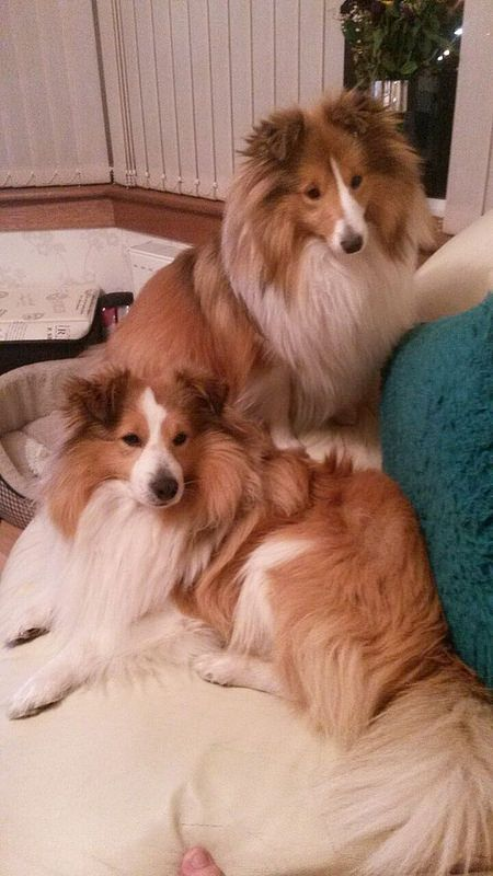 Darling Shelties