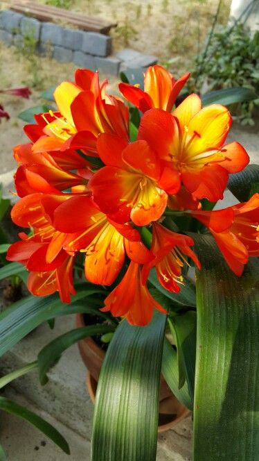 21 best images about clivia miniata on pinterest shade plants bud and lilies. Black Bedroom Furniture Sets. Home Design Ideas