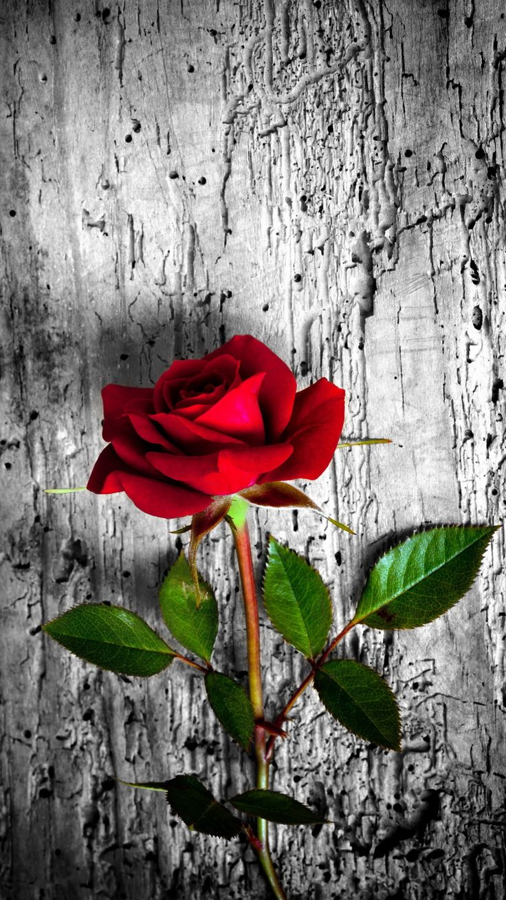 Red rose. 26 Happy Valentine's Day Roses/flowers Wallpapers for iPhone - @mobile9 #1080x1920 #valentines #photography