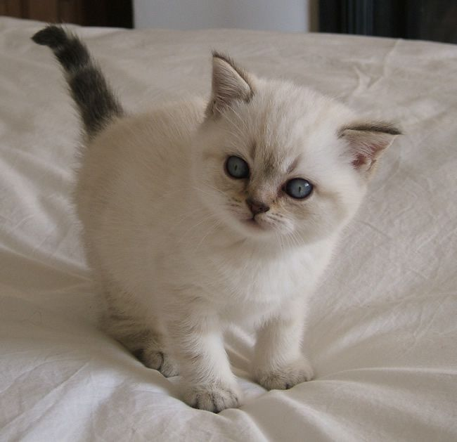 British Shorthair Kittens For Sale Singapore