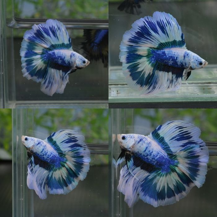 Siamese fighting fish blue white marble double tail for Betta fish names male blue