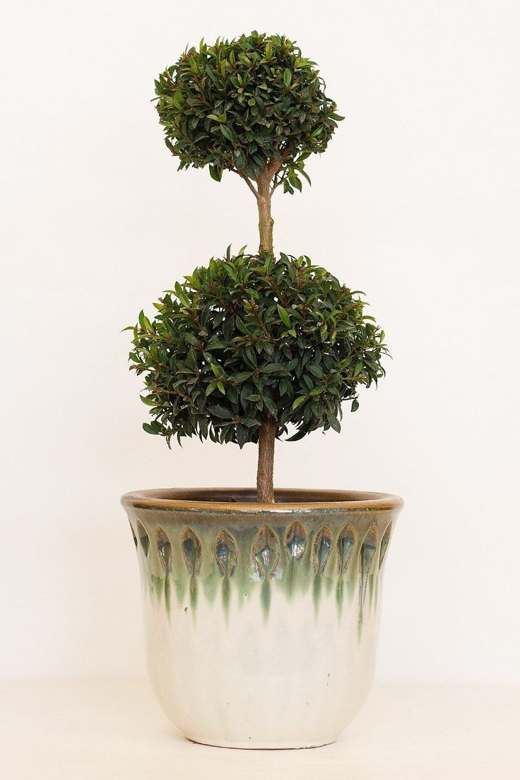 Eugenia Topiary Tree (2-ball) - 10 inch pot / 2-ball tree - 10 inch pot / 2-ball tree - 10 inch pot / 2-ball tree
