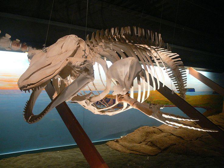 Walmuseum Húsavík - Skelett Grindwal - Long-finned pilot whale - Wikipedia