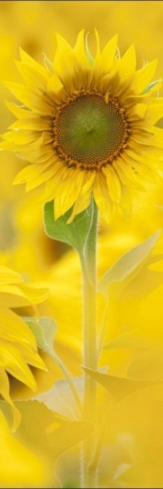"""The washed out look of this sunflower is so pretty and calming to look at. Yellow is a very """"happy"""" color and that's how this photo makes me feel when I look at it."""