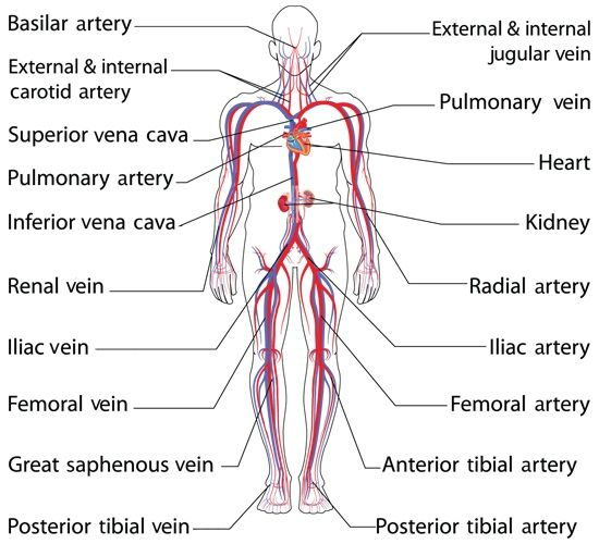 Blood Schematic Systemic Vessels Arterial Circulation