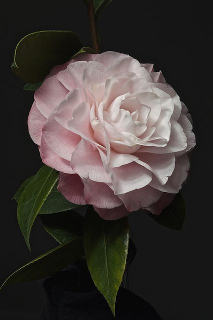 Camellia ~ has always been my favorite flower since the Victoria magazine..