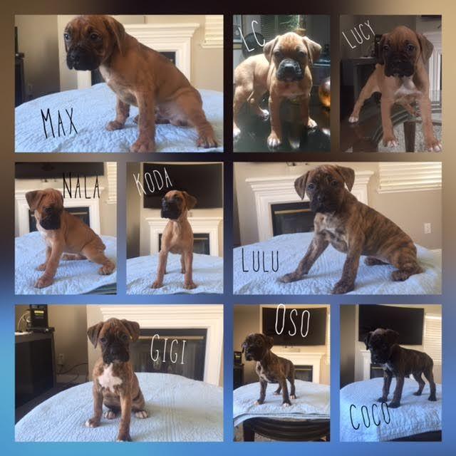 Boxer puppy for sale in SALIDA, CA. ADN-24843 on PuppyFinder.com Gender: Female. Age: 8 Weeks Old