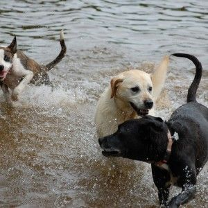 dogs in water resized