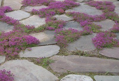 Flagstone with creeping thyme (this in in progress in my yard right now): Gardens Ideas, Flagstone Paths, Gardens Design Ideas, Gardens Paths, Fairies Gardens, Front Yard, Flowers Beds, Red Creeping, Creeping Thyme